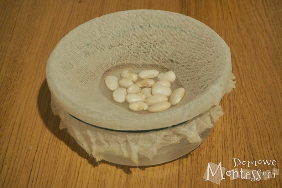 Dzień 2 - pęcznienie nasion