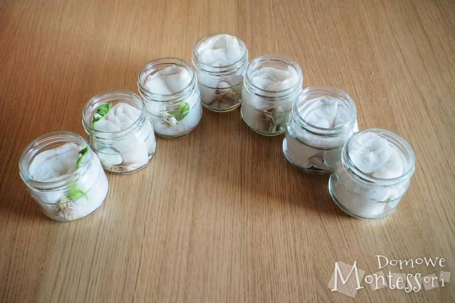 Dzień 7 - wzrost łodygi i liścieni