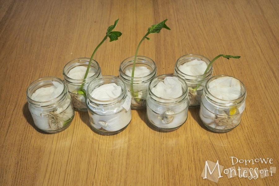 Dzień 8 - dalszy wzrost rośliny